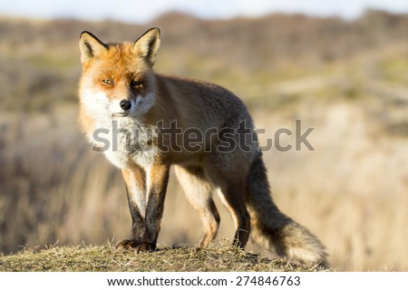 Red Fox Standing on the Grass in the Sunlight - stock photo