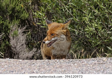 Red Fox (Vulpes vulpes) in the mountains of Corsica, France - stock photo