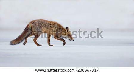 Red fox walking on thin ice in wintertime - stock photo