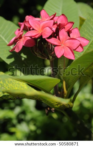 Red frangipani (plumeria) under natural light. Shallow DOF. - stock photo