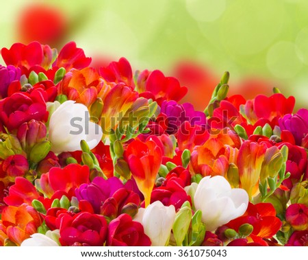 red freesia flowers in garden on green   background - stock photo