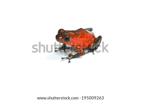 red frog or strawberry poison dart frog of Panama and Costa Rica on white background - stock photo