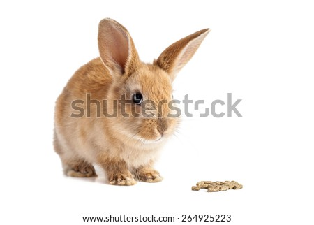 Red furry easter bunny gald for chow on isolated white background - stock photo