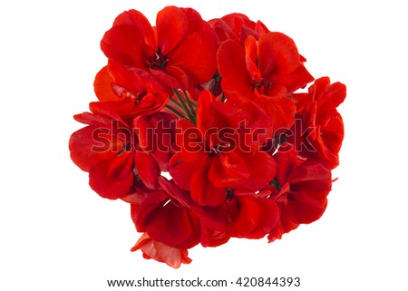 Red garden Geranium Pelargonium flowers isolated on white background - stock photo
