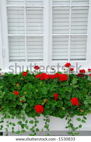 Red geraniums on windowsill, vertical - stock photo