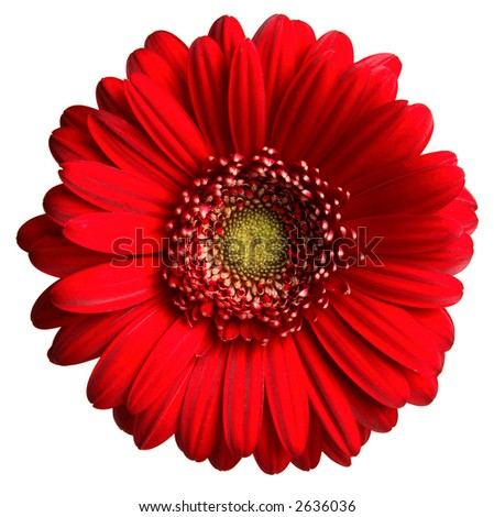 Red Gerber Daisy - stock photo