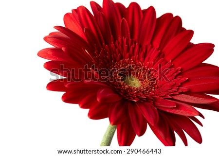 Red gerber flower isolated on white background - stock photo