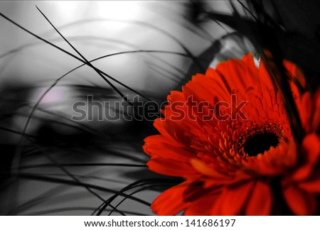 Red gerber flower on black and white background - stock photo