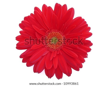 Red gerber isolated on white - stock photo