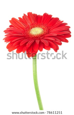 Red gerbera daisy flower isolated on white, clipping path included - stock photo