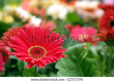 Red Gerbera daisy with shallow depth of field - stock photo
