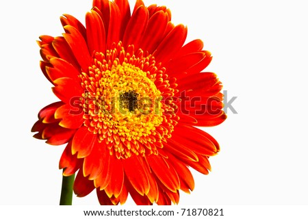 Red gerbera flower isolated on white - stock photo