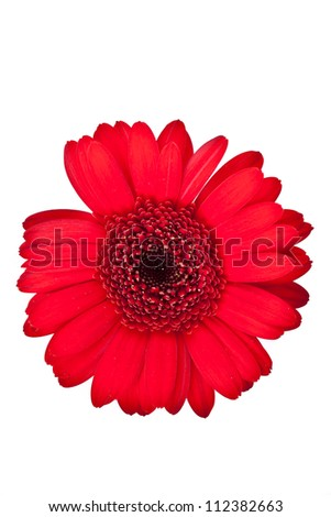 red gerbera flower on a white background - stock photo