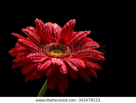 Red gerbera  isolated on black background - stock photo