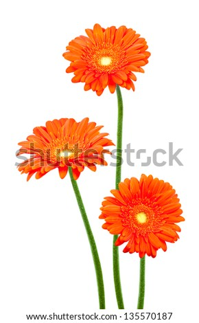 Red gerberas (african daisy) isolated on white - stock photo
