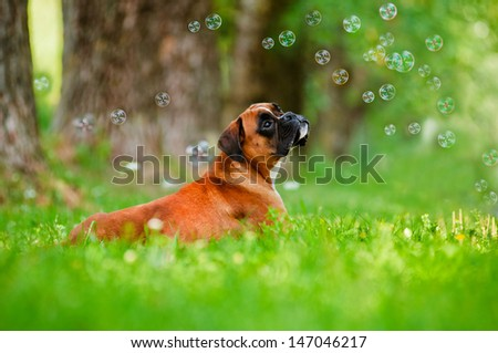 red german boxer dog portrait with soap bubbles - stock photo