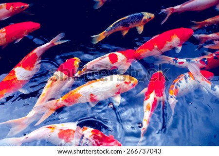 Koi stock photos images pictures shutterstock for Red and white koi