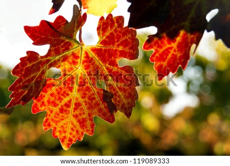 Red Grape Leaf - stock photo
