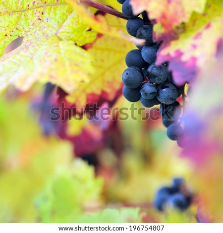 Red grapes - stock photo