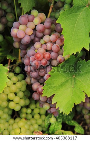 red grapes from the farm as nice background - stock photo