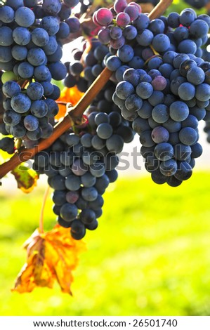 Red grapes growing on vine in bright sunshine - stock photo