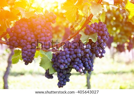 Red grapes on the vine. Vine grape fruit plants outdoors by sunset - stock photo