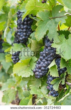 Red grapes ready to be harvested at a vineyard - stock photo