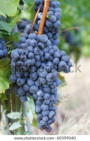 Red grapevine for good wine - stock photo