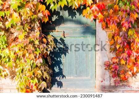 Red, green and orange leaves of a Boston ivy or parthenocissus tricuspidata veitchii  in autumn mounting an old grunge door with rusty bolt in a tipical farmer house in Italian countryside - stock photo