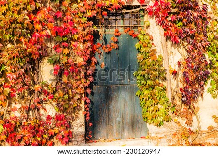 Red, green and orange leaves of a Boston ivy or parthenocissus tricuspidata veitchii  in autumn framing and surrounding an old grunge door in a tipical farmer house in Italian countryside - stock photo