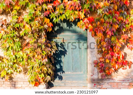 Red, green and orange leaves of a Japanese Creeper or parthenocissus tricuspidata  in autumn framing and surrounding an old grunge door with rusty bolt in a tipical farmer house in Italian countryside - stock photo