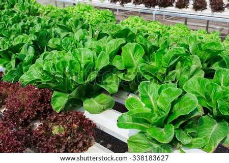 Red-Green cos lettuce / Butter head hydroponics vegetable farm in Thailand. - stock photo