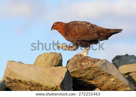 Red grouse walking on dry stone wall  - stock photo
