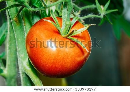 Red Growing Organic Tomato Closeup. Ripe Homegrown Tomato In Vegetable Garden - stock photo