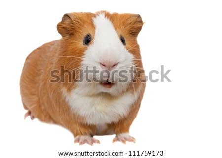 red guinea pig - stock photo