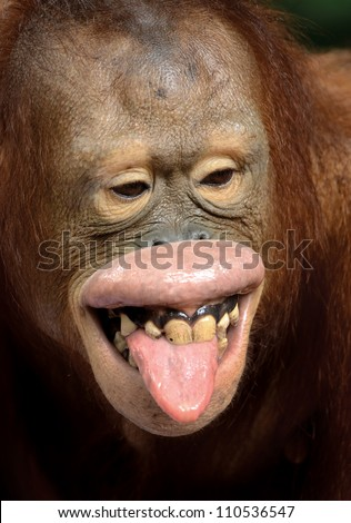 red hair chimpanzee kidding and showing his tongue and teeth - stock photo