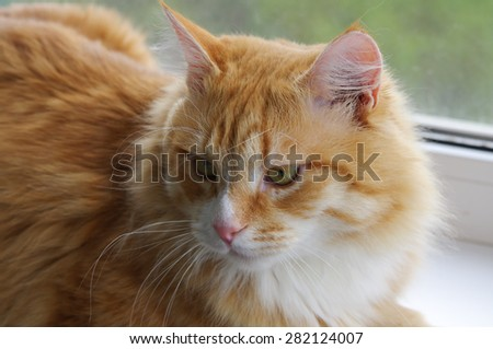 Red-haired cat closeup - stock photo