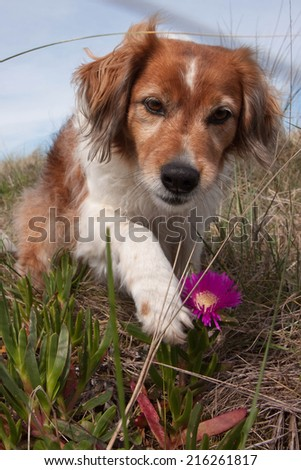 red haired collie type dog playing in sand dunes at a surf beach  - stock photo