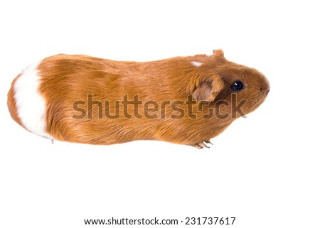 Red-haired guinea pig on a white background - stock photo