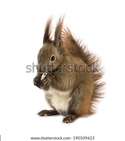 Red-haired squirrel with long tassels on the ears on a white background - stock photo