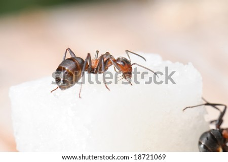 Red-haired wood ant and sugar piece. Macro - stock photo