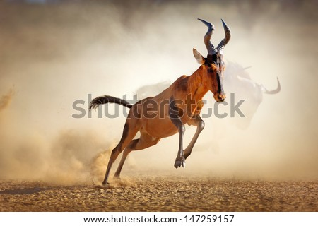 Red hartebeest running in dust - Alcelaphus caama -  Kalahari desert -  South Africa - stock photo