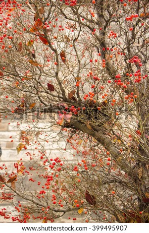 Red hawthorn berries in autumn. Beautiful hawthorn vertical background with many red berries on naked branches without leaves. Place for your own text. Nest in tree. Naked tree on stoned background - stock photo