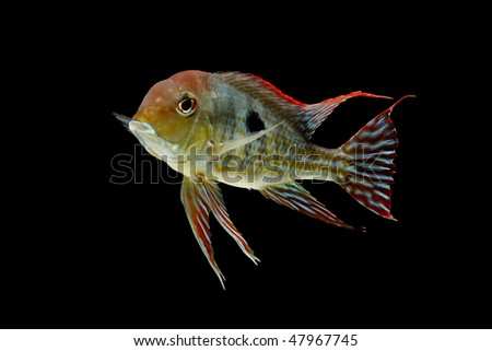 Red Head Tapajos (Geophagus Sp) isolated on black background. - stock photo