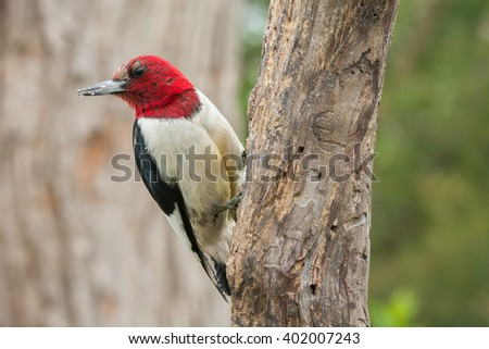 Red-headed woodpecker on a weathered old tree branch. - stock photo