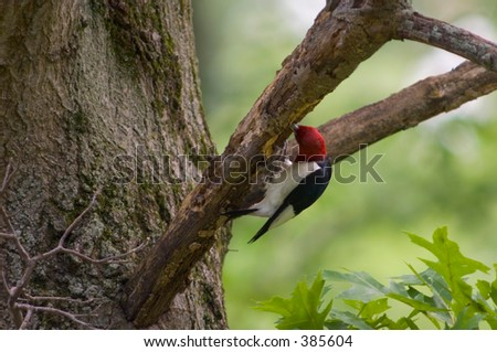 Red headed woodpecker storing seeds - stock photo