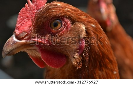 Red hen - stock photo
