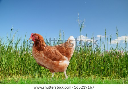red hen and  green grass  - stock photo