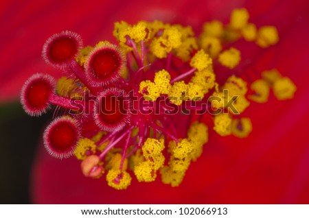 Red hibiscus closeup - stock photo