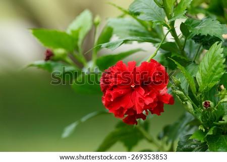Red Hibiscus flower in garden. - stock photo